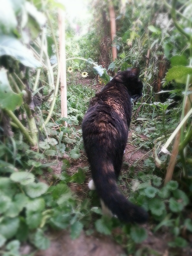 Maya cat on patrol in the garden as usual. Happy healed cat!